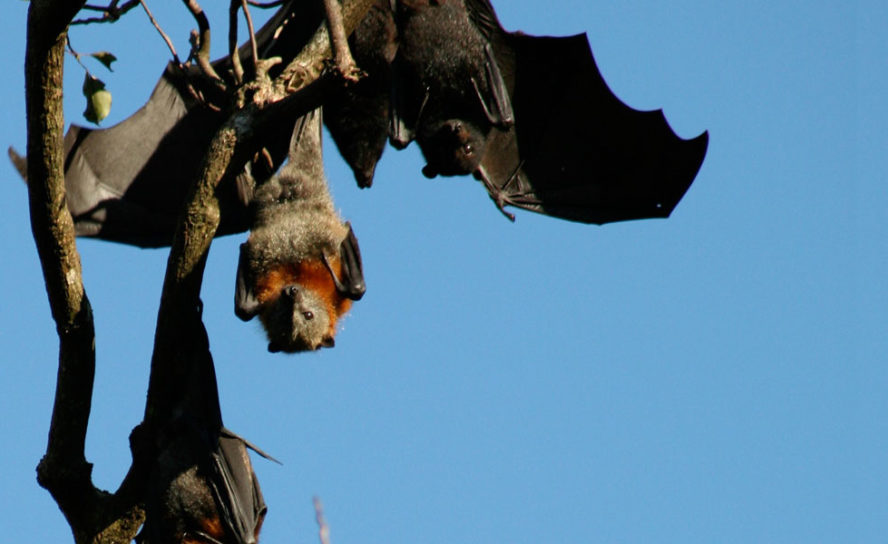 Bat super immunity to lethal disease could help protect people