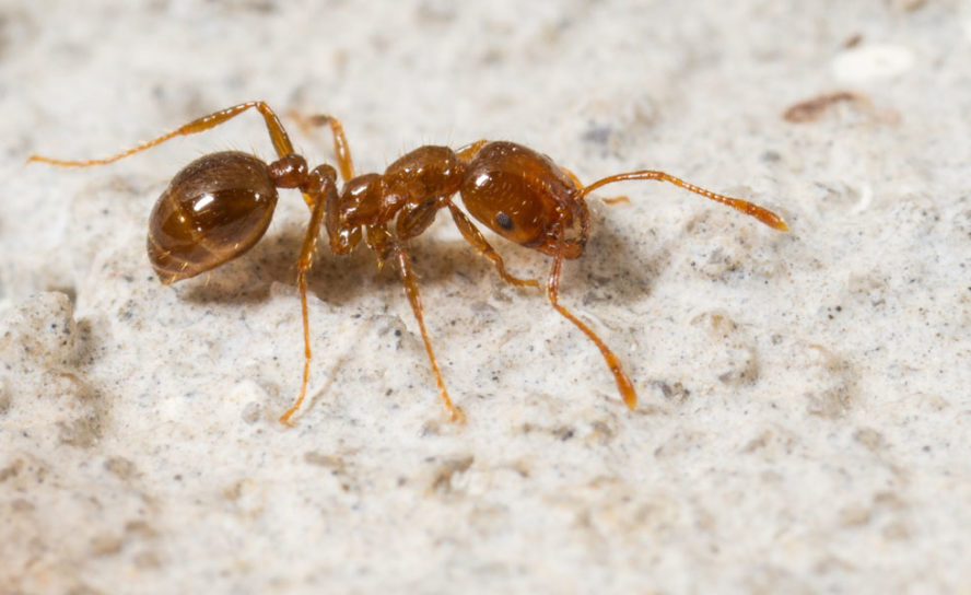 National approach to tackle tramp ant threat