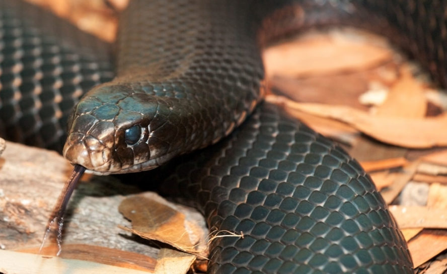 Saving lives and resources: antivenom dose drop in Australia